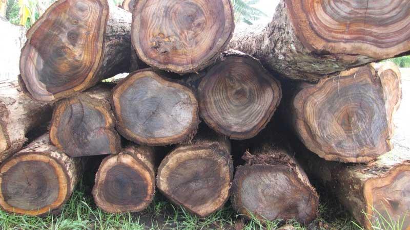 keindahan pohon kayu sonokeling