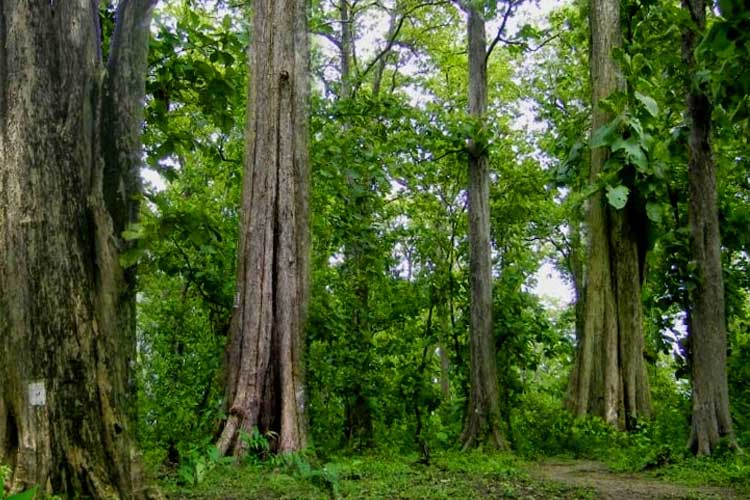 Pohon jati perhutani