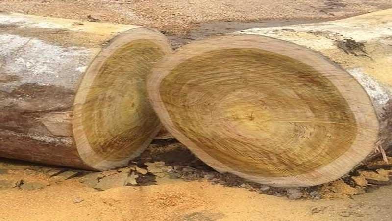 kelebihan dan kekurangan kayu jati rakyat